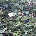 A single white rose in the blackberry bushes